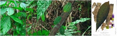 Cacao -Symbol of fertility and life-