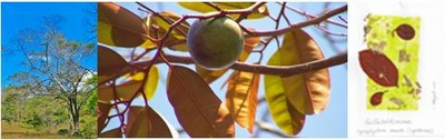Star Apple -The wonderful gifts of the Golden Leaf Tree-