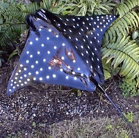 "40"" Spotted Eagle Ray Half Mount Fish Replica"