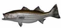 "43"" Striped Bass Half Mount Fish Replica"