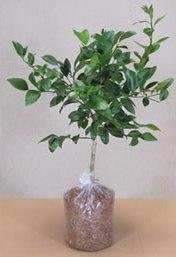Dwarf Dancy Mandarin Tree