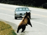 "<B>Wildlife and Highways: ""ROADKILL"" An Overview</B>"