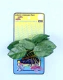 Anubias Aquarium Plant with Roots