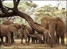 <B>Problems of Elephant Breeding & Birthing</B>