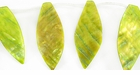 Yellow Gold River Shell Leaf Beads 26x46mm