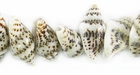 Tiger Nassa Whole Shell Beads 7x12mm