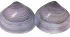 Violet Whole Shell Beads