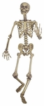 "60"" Posable Skeleton"