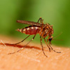 Dengue Symptons and Signs