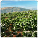 Coffee Growing Climates