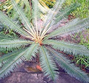 Cycas elephantipes Seedlings