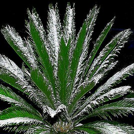 """Cold Tolerant Cycads<br>The """"Short List"""""""