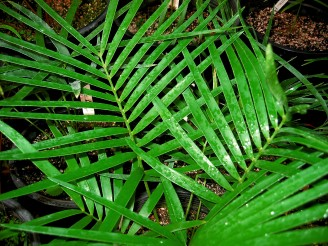 Zamia inermis Plants<br>Extremely Rare, Cold-Tolerant Beauty