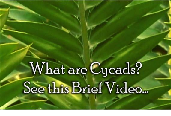 What are Cycads and How to Grow Them--Watch this Brief Video