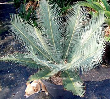 Dioon Species