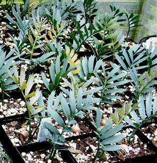 Encephalartos horridus Dwarf Form Seedlings