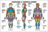 Exercise & Muscle Guide - Male