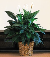 """Large peace lily Plant 10"""""""