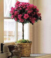 Azalea Topiary - For The Service & The Home