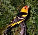 Western Tanager Blend