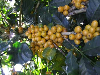 Three Months of Sacred Grounds Organic Coffee