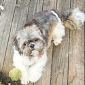 buy discount  Jennifer's Dog Lynyrd (Shih Tzu)