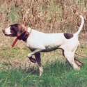 buy discount  Ruby (English Pointer)