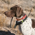 buy discount  Vernon's Dog Richard (GSP)