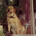 buy discount  Stephanie and Sam's Dog Django (Labrador Retriever)