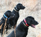 THREE DOG Tritronics Multi-dog Collars