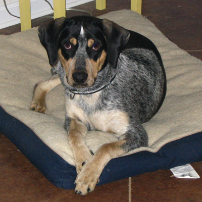 Eric's Dog Bob (Catahoula)
