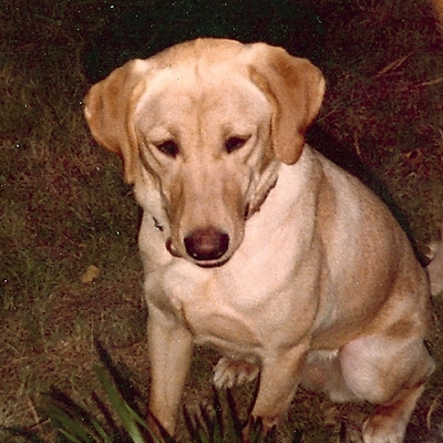 Sam the Dog (Labrador Retriever)