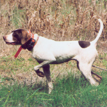 Ruby (English Pointer)