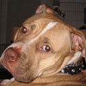 buy discount  Candice's Dog Java (Pit Bull)