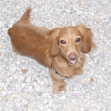 buy discount  Candice's Dog Riley (Long-haired Dachshund)