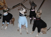 Italian Greyhound Heavyweight Sweatshirts