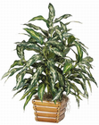 Chinese Evergreen Silk Plant