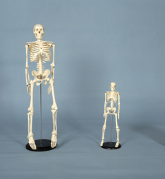 Skeleton MEDIUM SIZE 33-1/2""