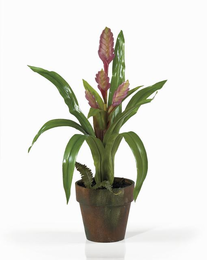 Potted Sword Bromeliad - Click to enlarge