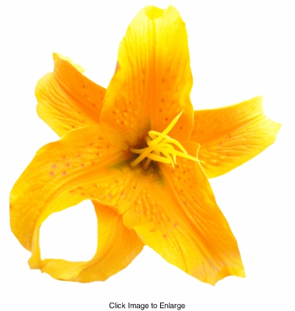 """4.5"""" Almost Alive Lilly Flower Hair Clip in Deep Yellow"""