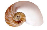 """Sliced Nautilus Shell - Natural:  5"""" to 6"""""""