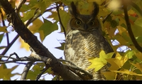 Great Horned Owl Nov 14 (S)
