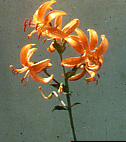 Lily Bulb - 'L. distichum'   (Species or Wild Lily)