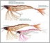 Yo-Zuri Crystal 3D Shrimp F987 HTS Holographic Tiger Shrimp