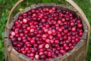 Cranberry and Urinary Tract Infections
