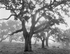 OAKS IN FOG, SUNRISE LIMITED EDITION PRINT