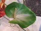 Anthurium Grace