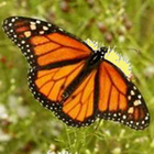 Four Dozen Monarch Butterflies with Accordion Release Box