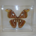 Attacus Atlas Moth Display