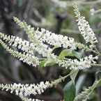 Sweet Almond Bush - Aloysia virgata